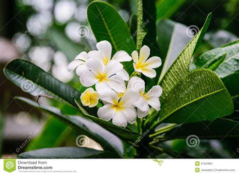 fiori frangipane il bello frangipane bianco fiorisce fiori di plumeria
