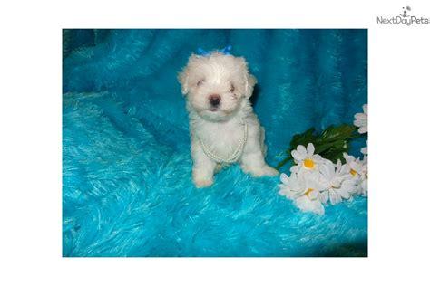 dogs for sale sioux falls adorable casper maltipoo white malti poo for sale in sioux falls sd