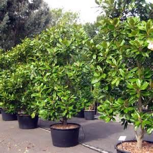 Plants For Topiary - magnolia grandiflora