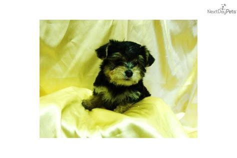 free yorkie puppies in arkansas yorkie puppy for sale in rock image breeds picture