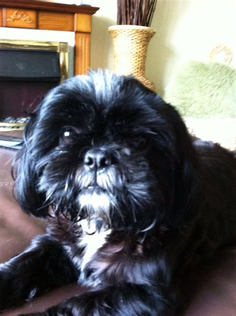 imperial shih tzu puppies for sale in ct shih tzu puppies available puppies for sale dogs for sale puppies breeds picture