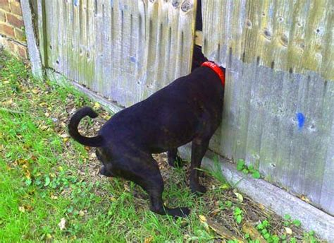 how to keep dog from jumping fence jumping the fence and getting loose the dog obedience