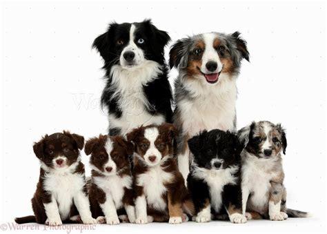 american shepherd puppies american shepherd puppies puppies puppy