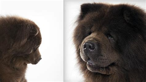 chow breed chow chow breed selector animal planet