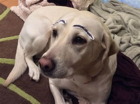 eyebrows on dogs pin dogs with eyebrows on