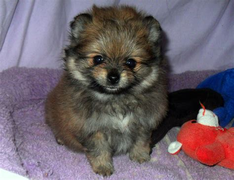 buy pomeranian teddy pommeranian puppies for sale and scammers pomworldca