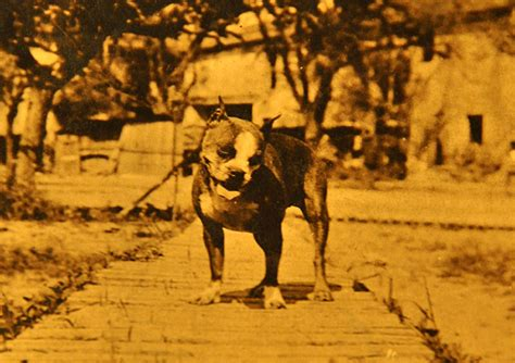 Sergeant Stubby German This Brave Stubby Tailed Pit Bull Was America S War
