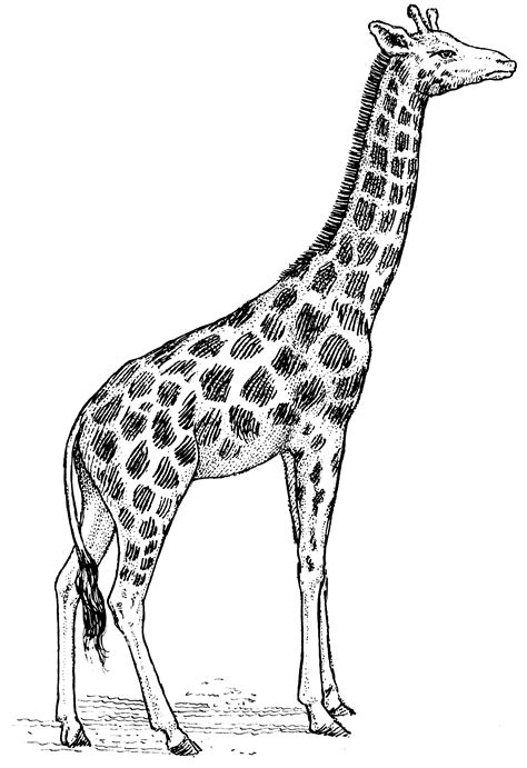 free coloring pages of cartoon giraffe