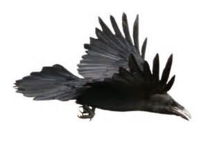 stock raven flying alpha layer netzephyr deviantart