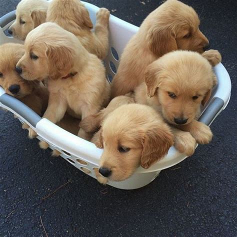 golden retriever puppy potty 25 best ideas about golden retriever puppies on retriever puppies