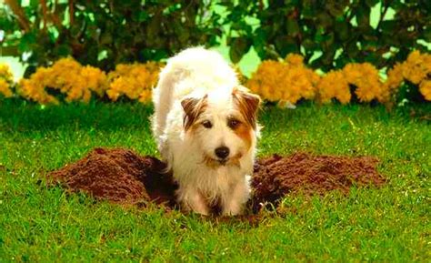 how to get a puppy to stop digging how to get your to stop digging holes brandon mcmillan s canine minded