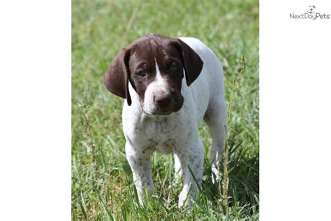 german shorthaired pointer puppies price german shorthaired pointer puppy for sale near st george utah 96a17554 7a71