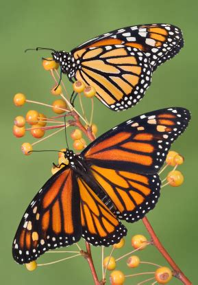 butterfly com table tennis butterfly monarch butterfly facts