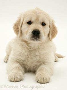 teacup golden retriever puppies 1000 ideas about white puppies on maltese teacup chihuahua puppies and
