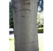Smooth Bark Trees For Pinterest