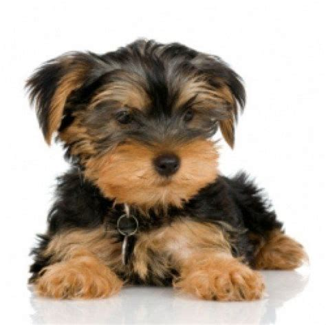 potty yorkies puppies 1000 ideas about yorkie puppies on yorkie teacup yorkie and