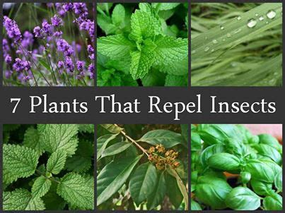 7 plants that repel insects the garden defender blog