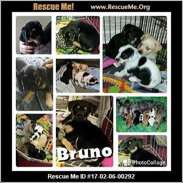 yorkie rescue sacramento california yorkie rescue adoptions rescueme org