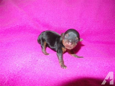 newborn yorkie puppies newborn teacup yorkie puppy taking deposit for sale in perris california