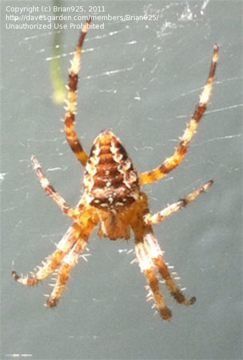 Garden Spider Identification Insect And Spider Identification Spider Identification