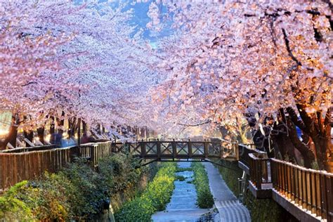 koreas cherry blossoms  hotels areas