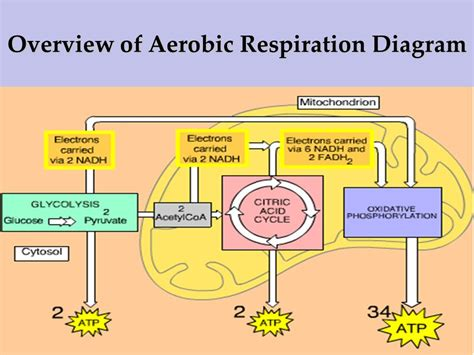 aerobic cellular respiration diagram anaerobic cellular respiration diagram image collections