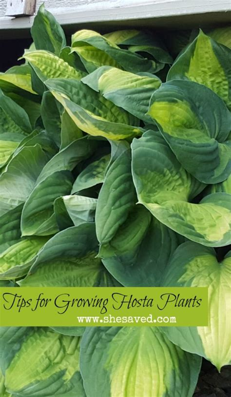 7 Easy Plants To Grow by 7 Tips For Growing Hosta Plants Shesaved 174