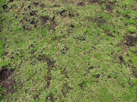 Kalk Gegen Pilze Im Garten by Kalk Gegen Unkraut Rasen D Ngen Im Fr Hjahr Vertikutieren