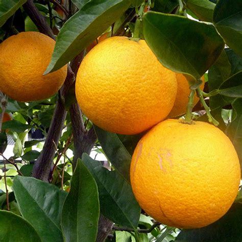 year    red navel orange tree