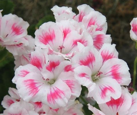 geranio fiore fiori gerani geranio gerani fiori giardino