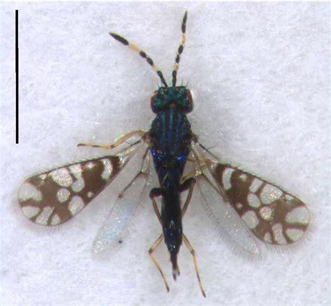 Astichus Gracilis Waspweb