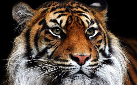 imagenes sorprendentes de tigres tigres taringa