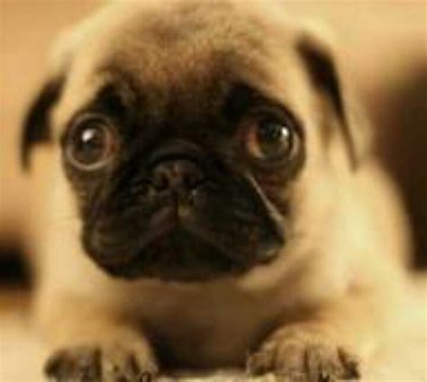 sad pug puppy 265 best pug images on animals pugs and pug