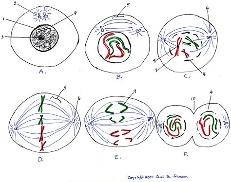 mitosis diagram mitosis diagram drawing image collections how to guide