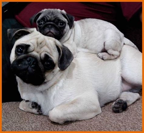 large pugs hanging out 1 dogs
