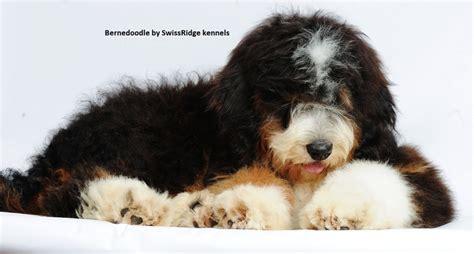 Do Bernedoodles Shed by 44 Best Images About Bernedoodle On Poodles