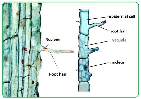 root structure diagram 61 root hairs and water uptake by plants biology notes