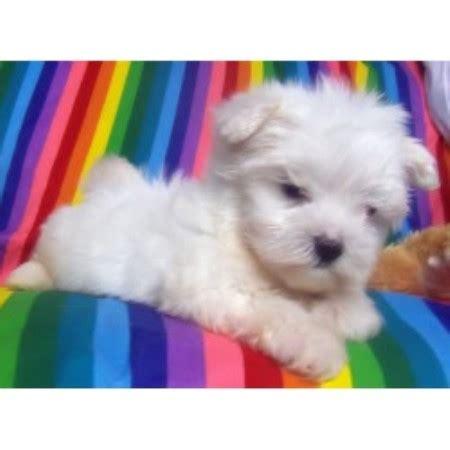 buttercup puppies buttercup puppies shih tzu breeder in croswell michigan 48422 freedoglistings