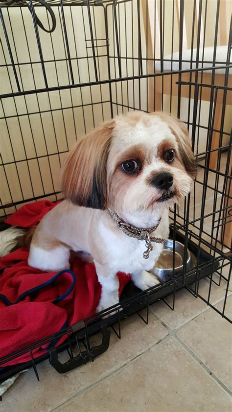 cavalier cross shih tzu shih tzu cross cavalier king charles havant hshire pets4homes
