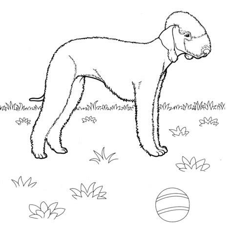 rat terrier coloring page rat terrier coloring pages