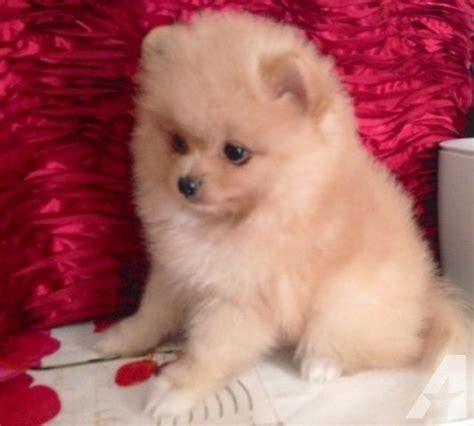 orange pomeranian for sale beautiful orange pomeranian puppy for sale in springdale oregon classified
