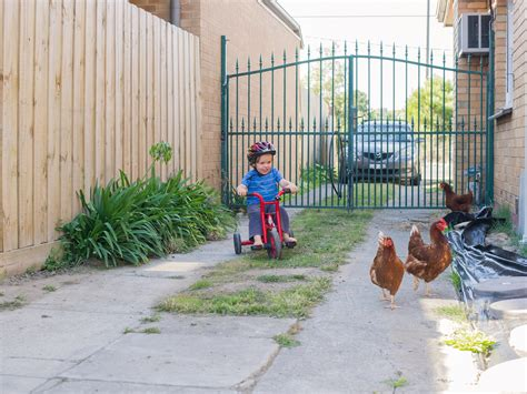 how to raise chickens in your backyard 100 backyard chooks how to raise chickens in your