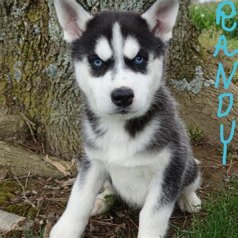 siberian husky puppies for sale in ohio siberian husky puppies for sale canton oh 193339