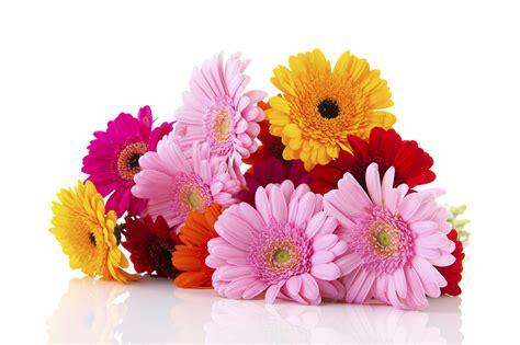 fiori gerbere die blume des monats juli gerbera floraqueen