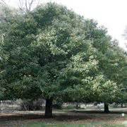 alberi da giardino sempreverdi da ombra alberi sempreverdi da giardino alberi piante