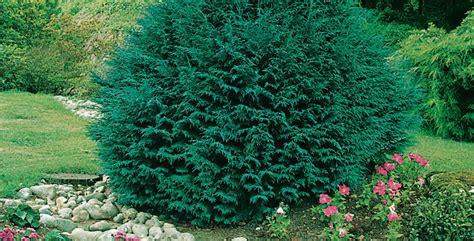 Piante Cespugli Da Giardino by Alberi Sempreverde Per Un Giardino Rigoglioso Anche In Inver