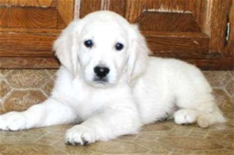 white golden retriever puppies mn dogs center mn free classified ads