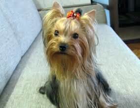 yorkie colors terrier coat colors might vary from a puppy to