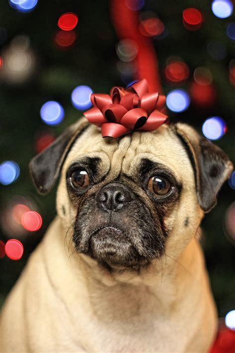 festive pug festive photography stockvault net