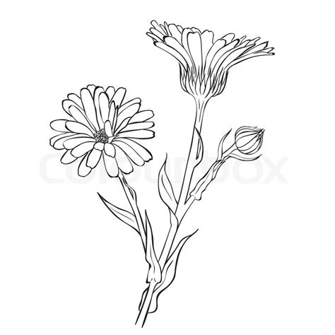 hand drawn flowers calendula officinalis or pot marigold